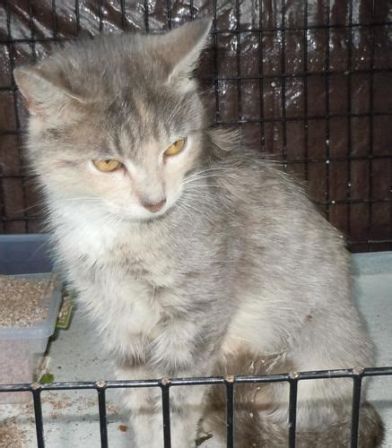 Lily Dilute Calico Cat Augusta Ga Rescues That Need A