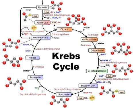 metabolism biochemistry explained  plain english