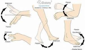 Flexion    Extension   Dorsiflexion  Human Anatomy   Movements    Diagram