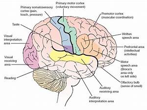 The Nervous System  Structure And Function   Nursing  Part 2