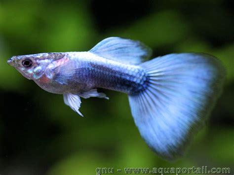 poisson d ornement d 233 finition