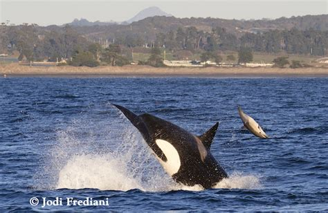 Photographer Captures Stunning Killer Whale Attack On