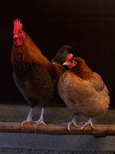دجاج  ويكيبيديا، الموسوعة الحرة