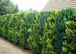 Thuja Hecke Schneiden Doch Wieviel : lebensbaum hecke thuja occidentalis wirkt auch ~ Lizthompson.info Haus und Dekorationen