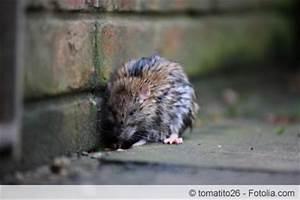 Ratten Im Kompost : rattenbek mpfung im garten ohne gift anleitung ~ Lizthompson.info Haus und Dekorationen
