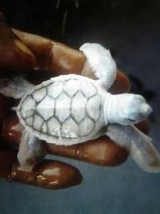 albino baby turtle ♥ | take me to the ocean | Pinterest