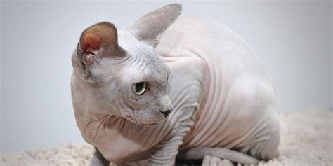 Sphynx Cat Information Fact Size Habitat And Pictures