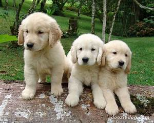 Golden Red River : how many types of golden retriever are there ~ Orissabook.com Haus und Dekorationen