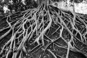 Black and White Tree Roots