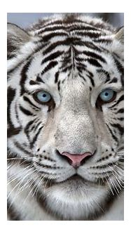 Interesting facts about white tigers | Just Fun Facts
