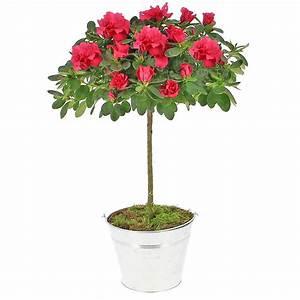 Plante Fleurie Intérieur : livraison azal e tige plante fleurie foliflora ~ Premium-room.com Idées de Décoration