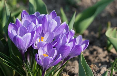 fiore crocus crocuses how to plant grow and care for crocus flowers