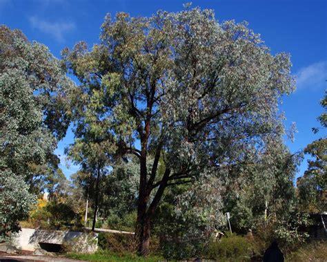 GardensOnline: Eucalyptus sideroxylon