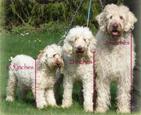 Do Aussiedoodles Shed Hair by About Labradoodles Aussiedoodle And Labradoodle Puppies