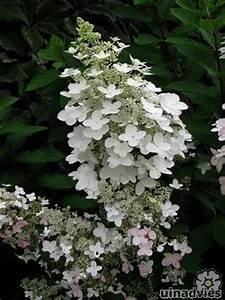 Hydrangea Paniculata Schneiden : hydrangea paniculata of pluimhortensia planten in de tuin ~ Lizthompson.info Haus und Dekorationen