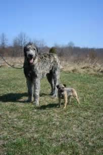Biggest Irish Wolfhound Dog