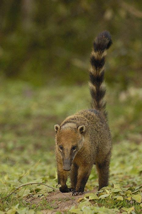 coati  coatimundi  small mammal related