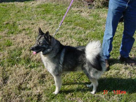 elkhound shedding elkhound breed information puppies pictures