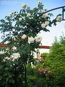 Ilse Krohn Superior : 17 best images about rose ilse krohn superior on pinterest roses and germany ~ Eleganceandgraceweddings.com Haus und Dekorationen