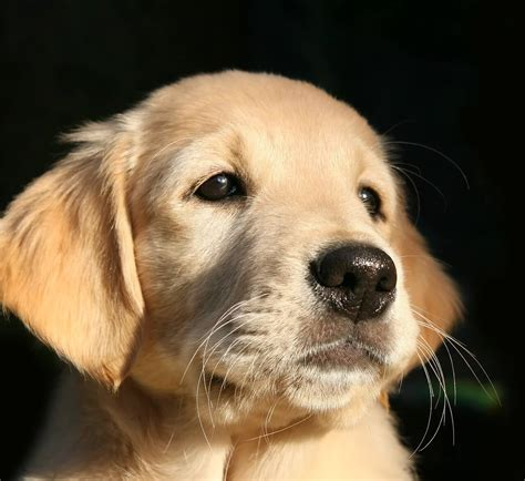 dog food  golden retriever archives pet care tips