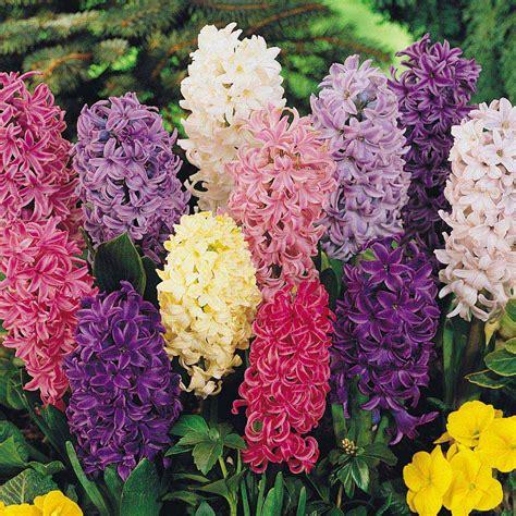 hyacinth mixed 10 to 20 bulbs bulbs direct