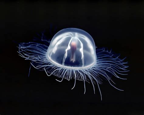 box jellyfish underwater images wallpaper high quality