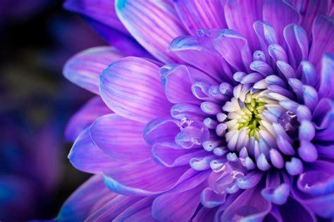 fiori le viole i fiori di maggio cure naturali it
