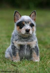 Australian Cattle Dog - Puppies, Rescue, Pictures ...