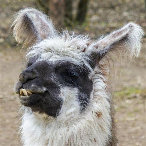 llama names pet names  nameyourpetscom
