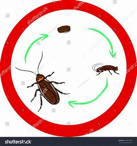 Cockroach Lifecycle Stock Vector 146018546 - Shutterstock