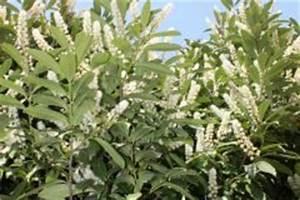 Kirschlorbeer Wann Pflanzen : der kirschlorbeer ein steckbrief ~ Lizthompson.info Haus und Dekorationen