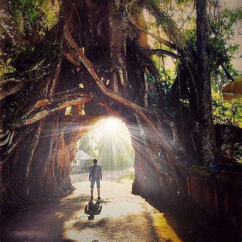 pohon bunut bolong pohon raksasa unik  menyimpan sisi