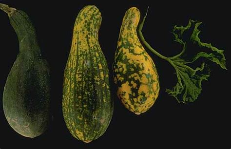 Squash (cucurbita Spp)virus Diseases  Pacific Northwest
