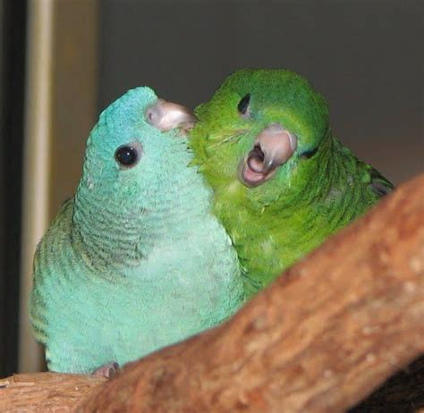 lineolated parakeet linnies aka lineolated parakeets birds pinterest parakeets bird and beautiful birds