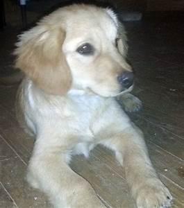 Nash - Golden Retriever | Humane Society of Dallas County