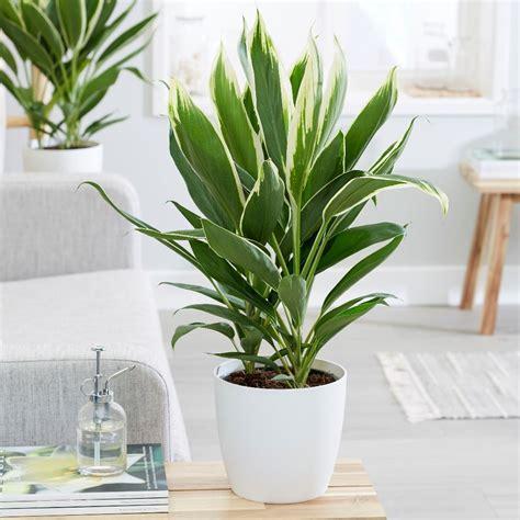 Buy good luck plant Cordyline fruticosa Conga: £37.99 ...