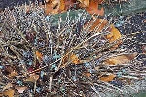 Verholzten Lavendel Schneiden : lavendel schneiden lavendula angustifolia erfrohren ~ Lizthompson.info Haus und Dekorationen