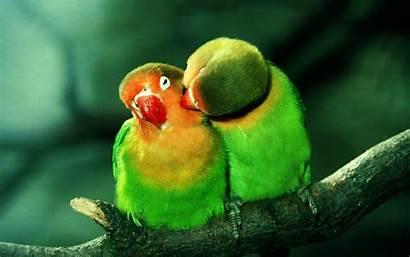 Lovebird Parrots Desktop Wallpapers Backgrounds Hintergrundbilder Liebe