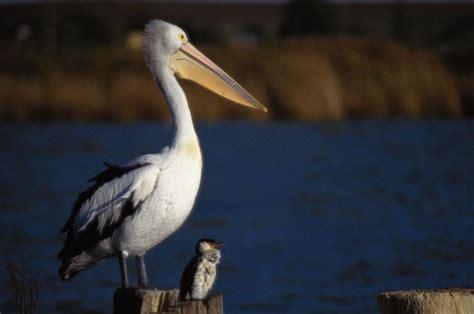 le de poche pelican le p 233 lican de jonathan robert desnos 192 d 233 couvrir