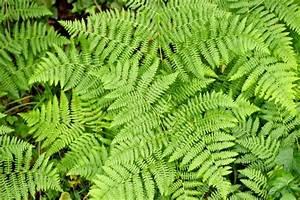 Schmucklilie überwintern Gelbe Blätter : adlerfarn pflanzen pflegen vermehren und mehr ~ Eleganceandgraceweddings.com Haus und Dekorationen