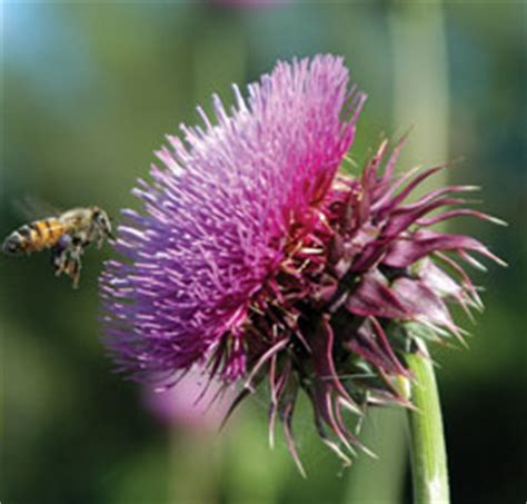 musk thistle  extension