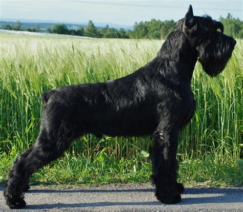 List Of Dogs That Shed Very Little by My Next Dog Giant Schnauzer A Schnauzer Obsession