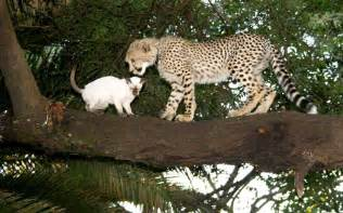 cheetah cat wildography safaris 187 archive animal nature fix