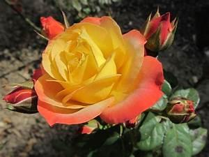 Begleitpflanzen Für Rosen : gartencenter lengnau rosen adr ~ Orissabook.com Haus und Dekorationen