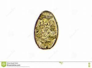 Paragonimus Westermani (lung Fluke) Stock Image - Image ...