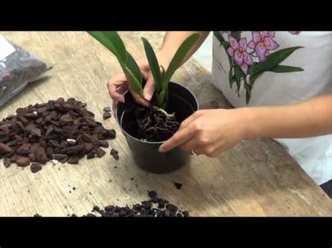 how do i transplant my orchid cattleya videolike
