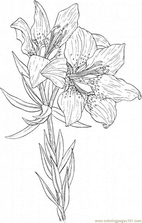 lily  coloring page  flowers coloring pages coloringpagescom