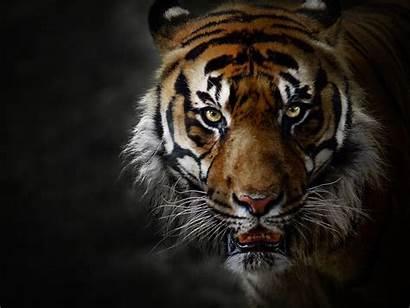 Tiger Tigre 4k Animal Captivity Predator Cat