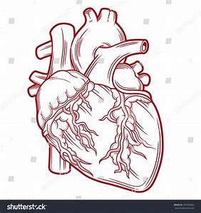 Anatomical Heart Stock Vector 337456892 - Shutterstock