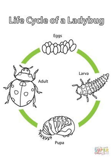 life cycle   ladybug super coloring life cycles